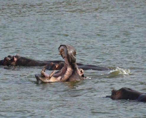 Hippos at Queen Elizabeth National Park