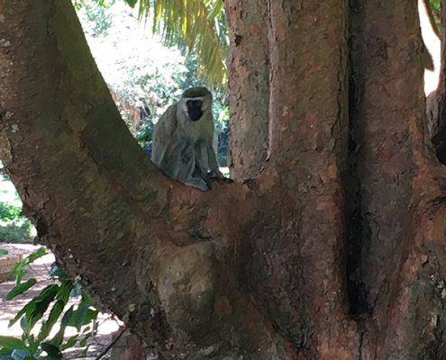 A monkey in the Botanical garden
