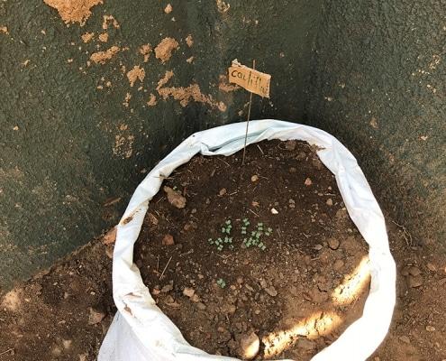 Cauliflower seeds germinating