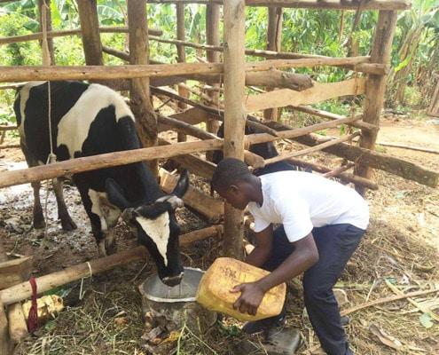 Brian feeding his cow