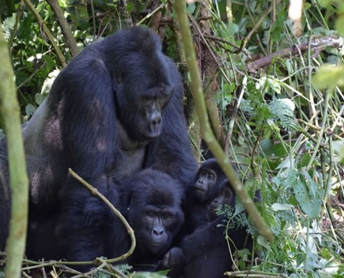 Family of gorillas in the Impenetrable Forest