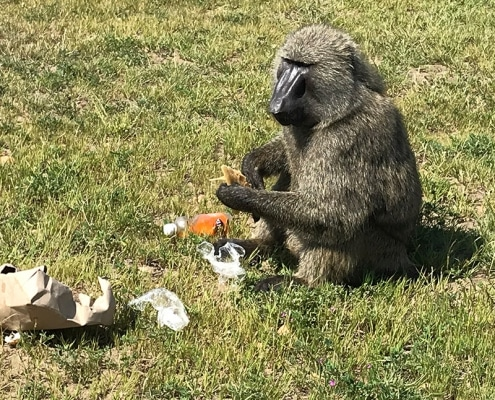 The baboon stealing our breakfast